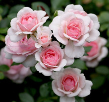 Floral Studio KILA ( 定禅寺通&台原 )  草月いけばな~プリザまで
