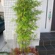 黒竹の成長ぶり