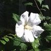 純白のムクゲ「祇園守」が咲いていますの画像