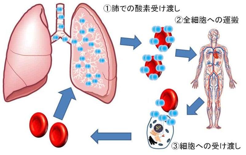 細胞に酸素がよく行き渡る呼吸法...