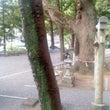 ニッキの木