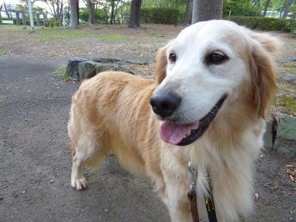 BEACH DOG  ゴールデン・レトリバー