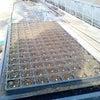 ブロッコリーの定植の画像
