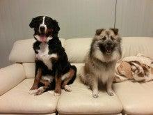 $犬達との爆笑生活(●^o^●)雑種犬ポットの大活躍!・・するかもね^m^♡大型犬バーニーズがやって来たーー!!(只今5歳♡)