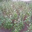 オクラの花 そばの花