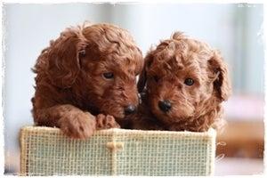 $:*:゜らら♪ウララ・゜:*       .  ..Maple farm    .*  .。.:*・゜゚・*トイプードル専門・ウララ犬舎  動物取扱業登録証 販売第241002号