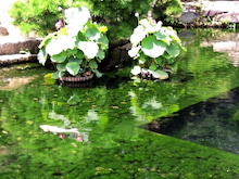 Suica割-2012無謀旅\後楽園_蓮のお池.JPG
