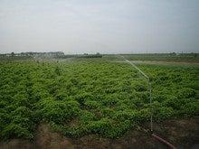 大和芋 シゲオ農園-スプリンクラー