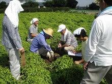 大和芋 シゲオ農園-試し掘り