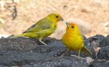 171 ハワイ島コナ 裏庭野鳥図鑑 ...