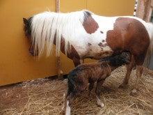 馬を愛する男のブログ Ebosikogen Horse Park-初おっぱい