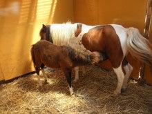 馬を愛する男のブログ Ebosikogen Horse Park-こんなに大きくなっても