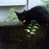 黒猫アン☆ドゥの画像