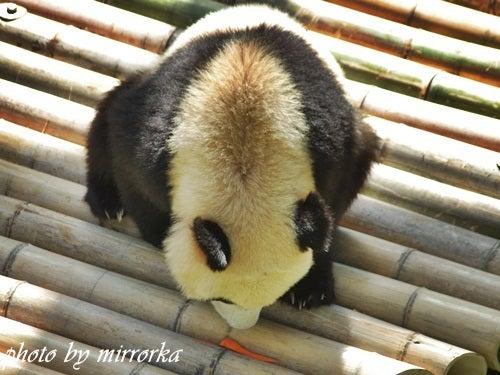 中国大連生活・観光旅行ニュース**-大連森林動物園 パンダ館OPEN!