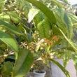 穂の香な金木犀