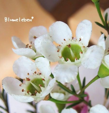 さんぽdeのんびり知育~『おさんぽ花育』公式ブログ-白花緑目ワックスフラワー