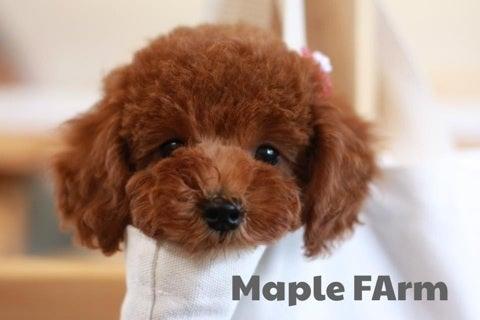$らら♪ウララ-Maple farm トイプードル専門ブリーダ--image
