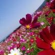 生駒高原のコスモス
