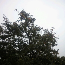 秋の果物 柿