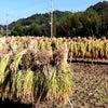 白鷹禄水苑「日本酒アカデミー」稲刈り体験してきました!の画像
