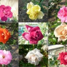 散歩道のバラの花シリ…