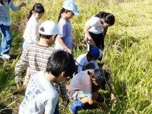 かもの子農園でボランティアしよう♪-稲刈り作業風景02