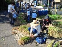 かもの子農園でボランティアしよう♪-稲をまとめます