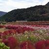 ほうき草の紅葉の画像