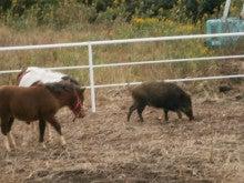 馬を愛する男のブログ Ebosikogen Horse Park-猪が遊びに