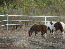 馬を愛する男のブログ Ebosikogen Horse Park-猪がまた遊びに