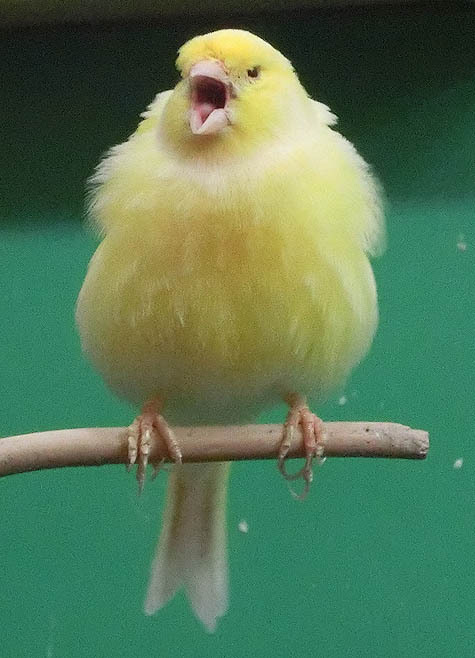 ようこそ!とりみカフェ!!~鳥カフェでの出来事や鳥写真~-06