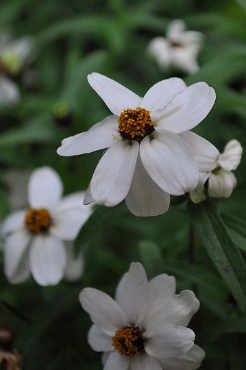 121111_白い花