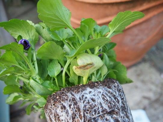 キヨミのガーデニングブログ 長澤淨美のアメブロオフィシャルブログPowered by Ameba-パンジー・ビオラの植え付け方のコツの画像
