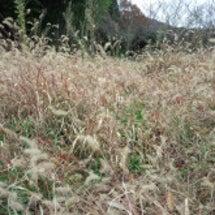 陸前高田市の牧草除染…