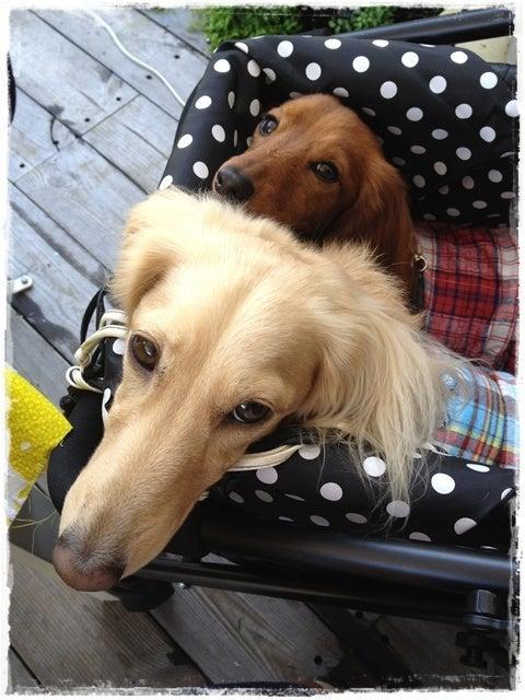旅犬Lani&Leaのほほん風船記-くらげストア