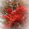 紅葉狩り。