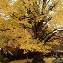 大山寺の大銀杏の黄葉
