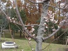ゆにっPA!ぶろぐ。店長のヤリキレナイ日記-桜
