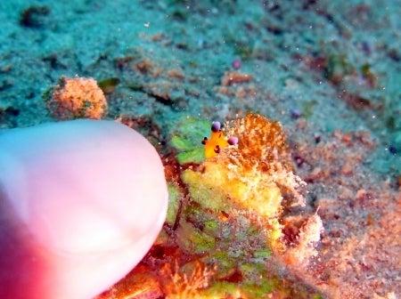 西表島ダイビング あべちゃん海ブログ  「にこにこダイビング」-ちびちび