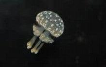 タコクラゲ