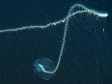 クダクラゲ