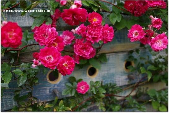 バラの庭・アトリエ・小さな雑貨・ウッドチップスのバックヤード【 wood-chips 】裏庭ブログ-遅咲きのつるバラエクセルサ ウッドフェンス誘引