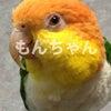 今日のもんちゃん~シロハラインコの画像