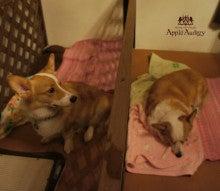 ROYAL PET HOUSE  Apple Audrey