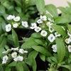 冬の白い花の画像