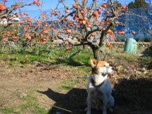 $マルワ農園のブログ-ウェンディと次郎柿