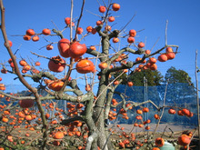 $マルワ農園のブログ-葉だけになった次郎柿