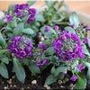 紫アリッサムの画像