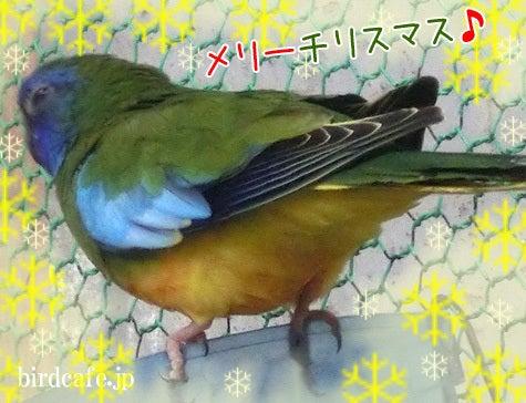 ようこそ!とりみカフェ!!~鳥カフェでの出来事や鳥写真~-メリーチリスマス!
