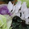 葉牡丹寄せ植えの画像
